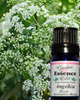 Angelica Root, 5 ml. Garden Essence Oils Angelica Root,Angelica Root Essential OIl