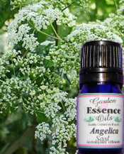 Angelica Seed, 15 ml.  Garden Essence Oils Angelica Seed,Angelica Seed essential oil