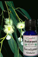 Eucalyptus Globulus, 2 oz. Garden Essence Oils Eucalyptus Globulus,essential oils for flu